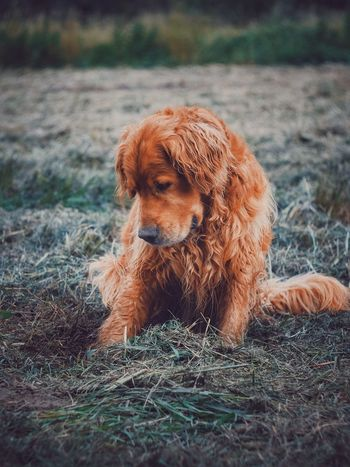 Dog Domestic Animals Pets Mammal Animal Themes One Animal Brown Grass Field No People Day Sitting Outdoors Close-up Nature Fujifilm_xseries The Week On EyeEm Golden Retriever