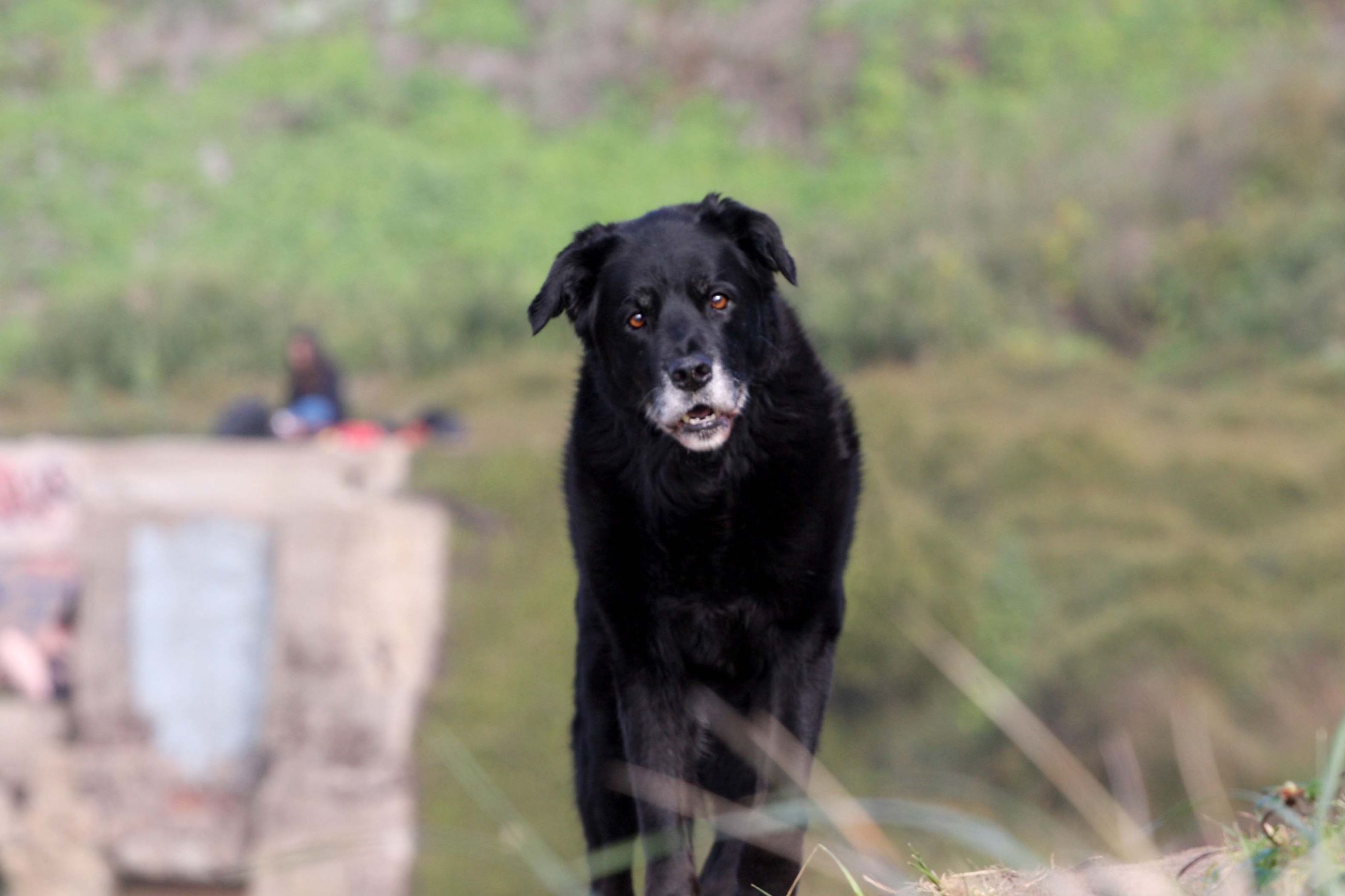one animal, canine, dog, pets, mammal, domestic, domestic animals, vertebrate, black color, portrait, looking at camera, focus on foreground, nature, day, people, land, plant, outdoors