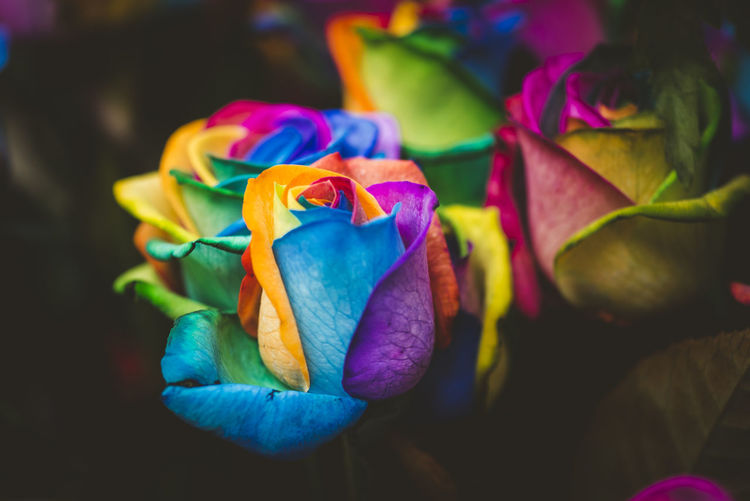 Multicolored rainbow rose Rainbow Colors Rainbow Rose Beauty In Nature Close-up Flower Flower Head Focus On Foreground Freshness Multi Colored Nature Petal Rosé Rose - Flower