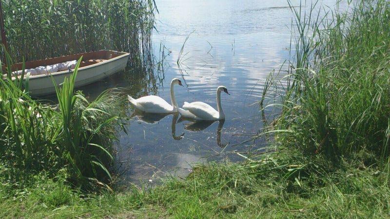 Svans Water Lake Grass Boat Bushes Norsborg Sweden Godaminnen Bird Animal
