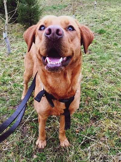 Whisker Paws Fur Gold Colored Teeth Collar And Leash Collar Red Lab Labrador Fox Red Lab One Animal Dog Canine Pets Domestic Animals Domestic Mammal Animal Themes Animal Grass Vertebrate Portrait Plant Standing No People Land Looking At Camera Day Nature Brown