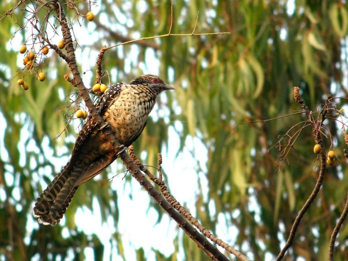 Asian Koel Bird Female Bird Photography Birds_collection Birdof EyeEm Female Asian Koel Animal Wildlife Tree One Animal Bird Animals In The Wild Branch Animal Themes Nature Perching Beauty In Nature Outdoors Full Length Day No People