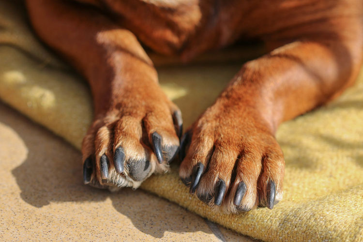 Animal Leg Animal Themes Brown Close-up Dachshund Day Dog Domestic Animals Doxie Lying Down Mammal No People One Animal Outdoors Paw Pets Relaxation