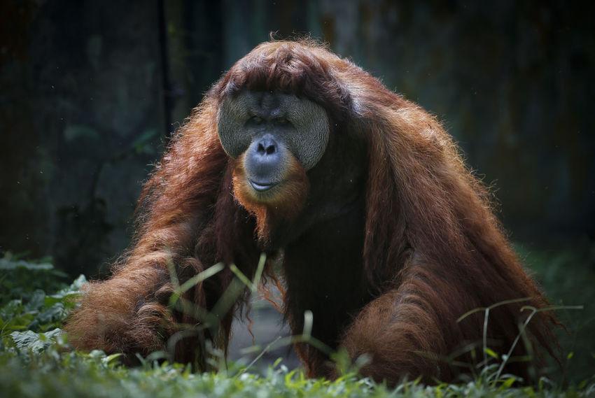 Animal Animal Themes Animal Wildlife Animals In The Wild Ape Day Focus On Foreground Grass Land Mammal Monkey Nature No People One Animal Orangutan Outdoors Plant Primate Sitting Vertebrate