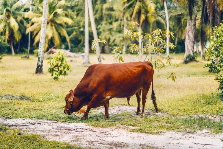 Full length of bull grazing against trees