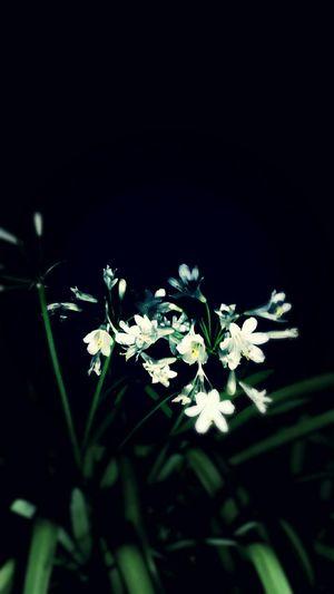 Midnight In The Garden Of Good And Evil EyeEm Nature Lover EyeEm Gallery White Flower Flower Collection Flowers Trumpets In My Garden
