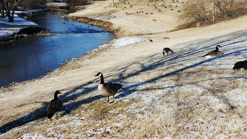 High Angle View Nature Bird Animal Themes No People Day Water Beauty In Nature Park Cold Temperature Winter Urban Nature Bare Trees Urban Wildlife Stream Flock Of Geese Light Snow Geese Beargrass Creek Sunlight Large Group Of Animals