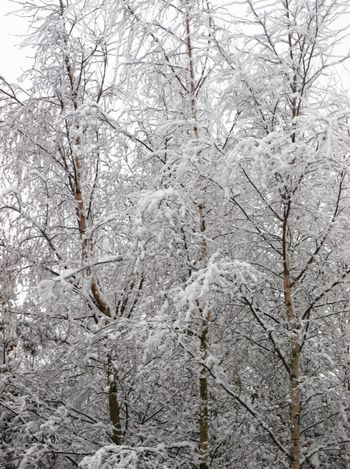 Cold Temperature Covering Nature Snowy Tree Trees Weather White Wintertime