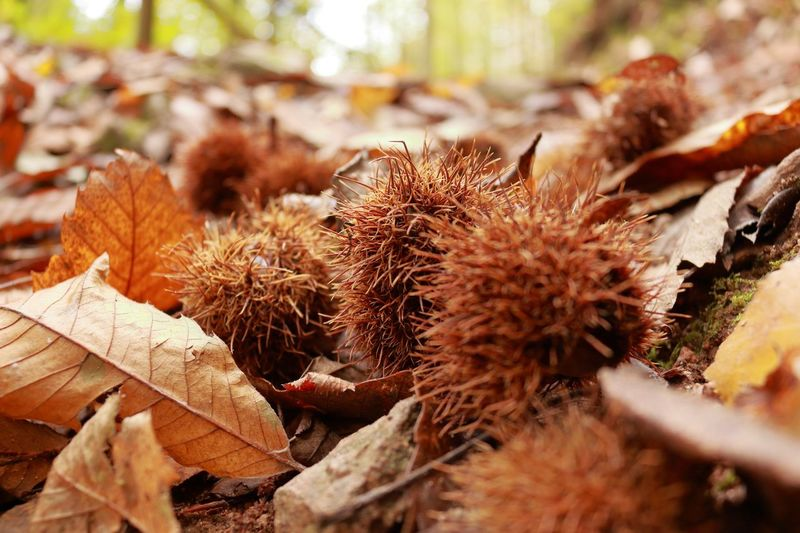 Close-up Nature Day Land No People Dry EyeEmNewHere Chestnut - Food High Angle View Focus On Foreground Outdoors Beauty In Nature Spiked Sunlight Plant Part Plant Selective Focus Leaf Brown Field Growth