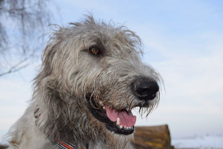 Dog Pets Animal Themes Outdoors Close-up Sky Doglover Dog Of The Day Dogs Of EyeEm Irish Wolfhound Dogslife Cearnaigh Bokeh Winter 2017 January 2017 Dogwalk Looking At Camera Portrait Dogs Of Winter