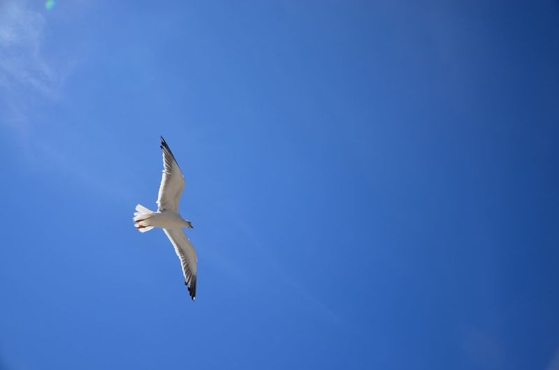 Scanaki Bird Blue Sky Simplicity Nofilternoedit D5100 D5100nikon Normandie Nature Is Beautiful Relaxing Taking Photos Enjoying Life Paysage Landscapes Sunny Day Mouette Seagull Frankreich フランス فرنسا Flying Bird Quiet Onebird Fly Freedom Perspectives On Nature The Traveler - 2018 EyeEm Awards The Great Outdoors - 2018 EyeEm Awards The Still Life Photographer - 2018 EyeEm Awards