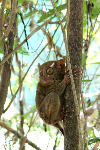 Portrait of tarsier on tree
