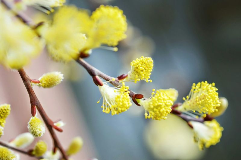 Close-up of yellow pussy willow flowers