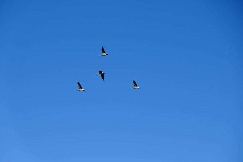 Geese Migration Geese Geese In Flight Blue Outdoors Sky Animals Birds Colors Eyeem Gallery. My Point Of View EyeEm Gallery EyeEm Best Shots EyeEm Mypointofview Traveling Home For The Holidays Beauty In Nature