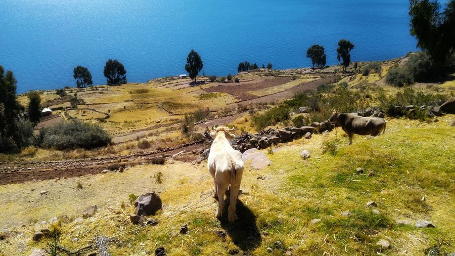 cows looking at the lake Titicaca First Eyeem Photo Nature Beauty In Nature Cow Lake Titicaca Titicaca Lake Peru Countryside UnderSea Tree Sunlight Sky Landscape Shore Coast