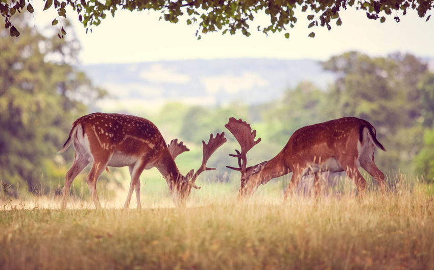 Grazing Deer Animal Themes Animals In The Wild Beauty In Nature Deer Field Grass Grazing Kent Nature No People Outdoors Plain Relaxing Sevenoaks Sikadeer Togetherness Tree Wildlife
