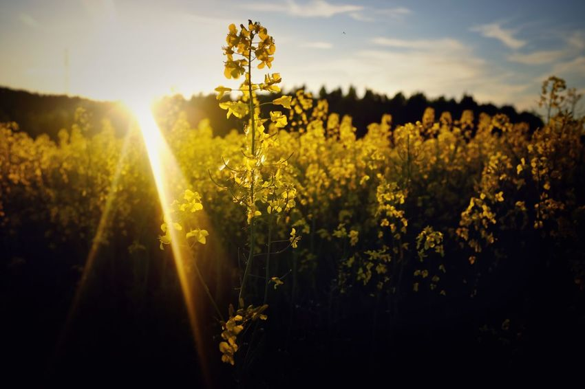 It was all yellow. Omberg, Sweden. Flower Nature Growth Field Plant Yellow Beauty In Nature No People Sunlight Agriculture Outdoors Tranquility Rural Scene Blooming Fragility Freshness Day Sky Flower Head Close-up Rapeseed