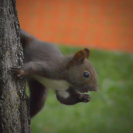 なんかわからんが、ガッツポーズ 公園栗鼠シリーズ One Animal Animals In The Wild Wildlife Close-up Zoology Outdoors Animal Beauty In Nature Eye4photography  EyeEm Best Shots 公園 Extreme Close-up EyeEm Nature Lover Animal Body Part