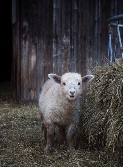 Lamb standing by hay on field