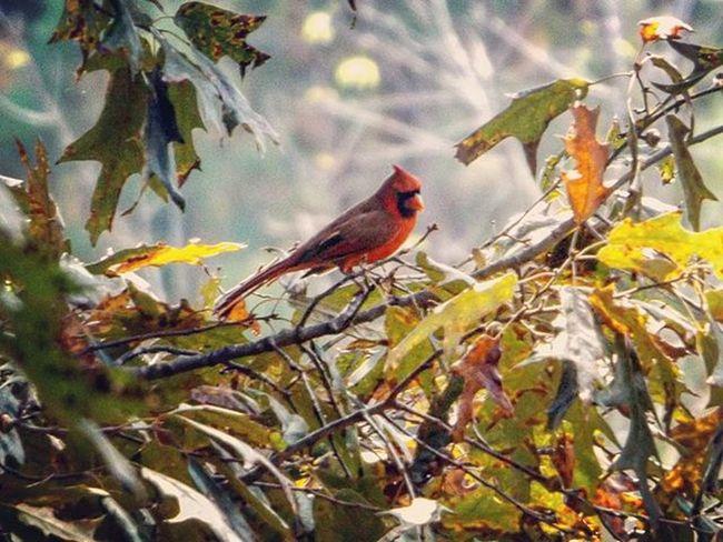 Cardinal I spotted the other day. Redbird Cardinal Birdwatching Bird Autumn Fall Fallleaves 🍁🍂🍁 Leaves