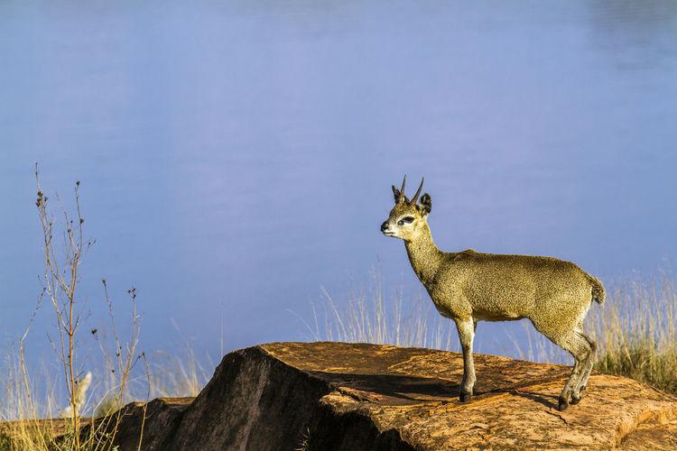 Side view of deer on rock by lake