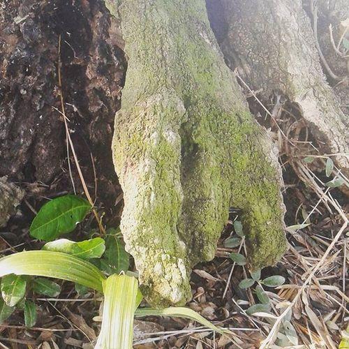 Treeroots Hybridbreed Hybridtree Treerootsgonewild roots groot Nature Nature_collection Tree