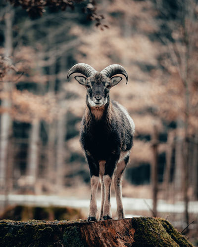 Portrait of goat standing against trees
