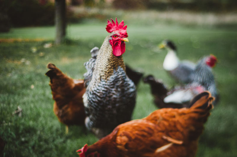 Agriculture Animal Animal Themes Bird Chicken Chicken - Bird Day Domestic Domestic Animals Field Group Of Animals Hen Land Livestock Male Animal Mammal Nature No People Outdoors Pets Vertebrate