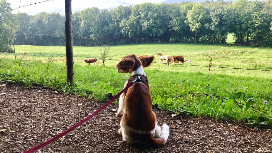 Young Welsh Springer Spaniel eagerly watching cows Welsh Springer Spaniel Young Cows Cows In A Field Watching Leash Meadow Dog Animals