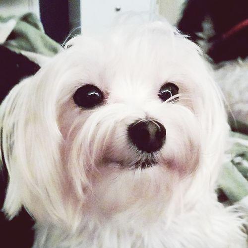 Morkie Morkielove Morkies Puppy Dog Mansbestfriend Attention