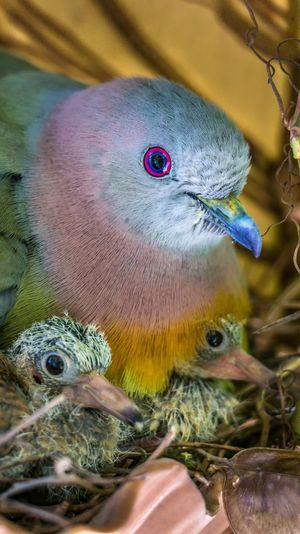 Close up of female pink necked green pigeon with baby birds Animal Themes Animal Wildlife Animals In The Wild Baby Birds In Nest Beak Bird Close-up Day Indoors  Nature Nest No People One Animal Pigeon Young Bird