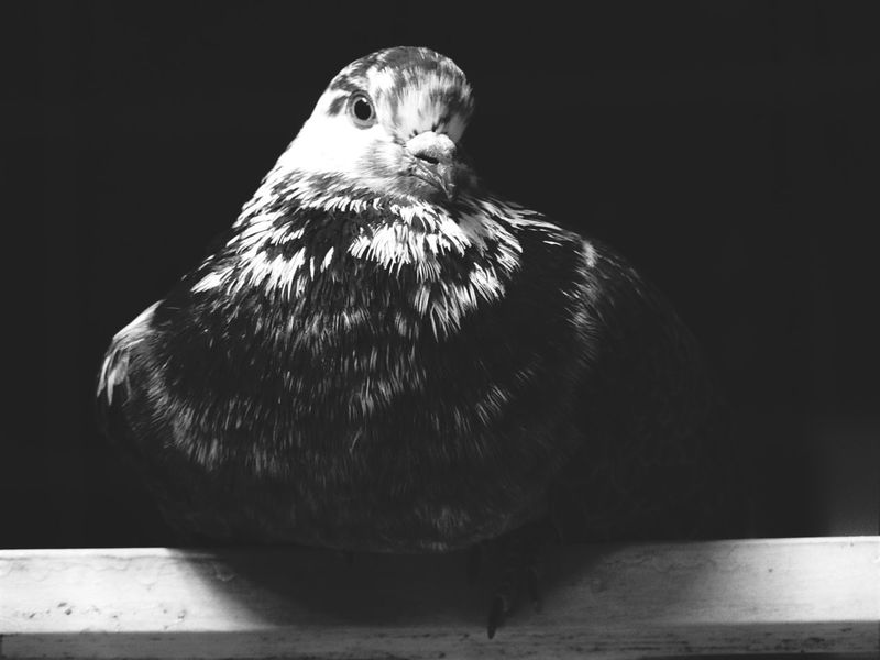 Eyeemphoto Grace Peace Attraction Life In Motion Home Focus Portrait Indoors  Pigeon Lovepigeons Animal Pets Eyeem Market Fine ArtSummer Memories... Monochrome Photography