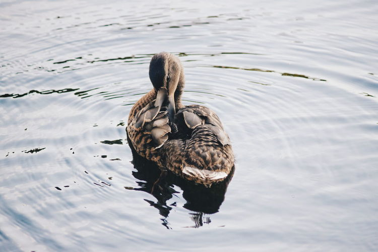 Nature Water Summertime Duck Animals Animal_collection