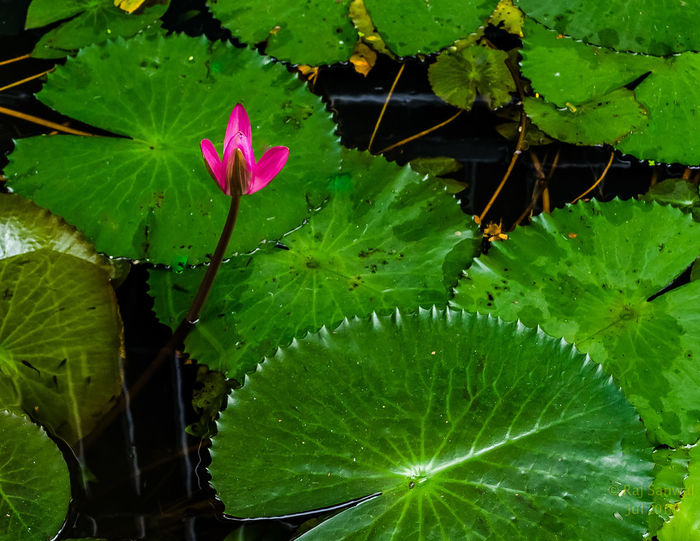 Water Lily! Beauty In Nature Floating On Water Flower Green Color Leaf Lily Pad Lotus Nature Outdoors Plant Water Water Lily Wet