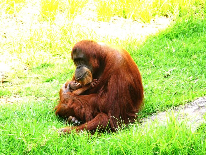 Mother Orangutan with Baby orangutan. Grass Animal Themes Green Color Mammal Zoology Resting No People Pongo Abelii Maternal Love