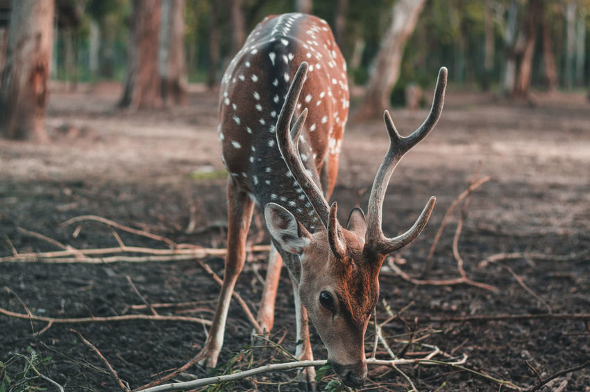 Horns so beautiful ❤️ Travel Earth Nature Raw Wild Travel Destinations Selective Focus Pattern Animal Themes Animals In The Wild Animal Wildlife Coorg Madikeri Adventure Travel Photography Antler Close-up Stag Horned Fawn Deer Herbivorous Animal Skull The Traveler - 2018 EyeEm Awards