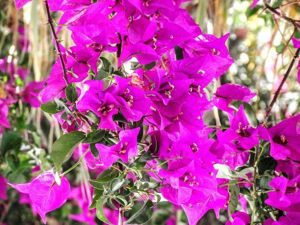 Pink Flower Pink Flowers Walking Around Santorini Perissa Greek Islands Flowers_collection Pink Flower 🌸 EyeEm Flower Eyem Flowers
