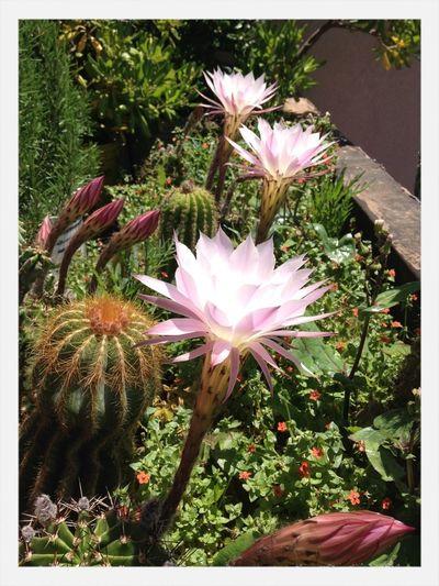 Flowers Cactus
