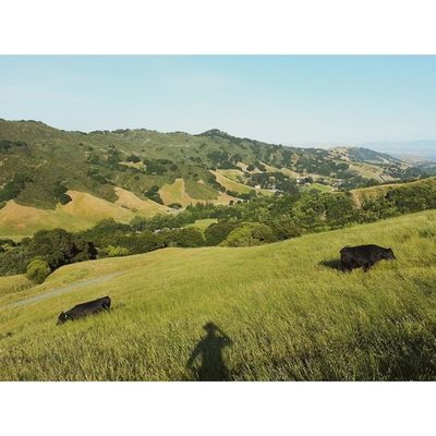 Just me and the cows. VSCO Vscocam Lastrampas SanRamon california hiking selfie