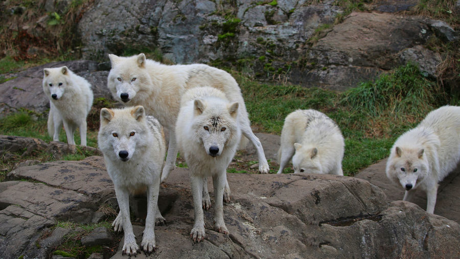Animal Themes WOlves White Wolf Pack Wildlife Animals In The Wild Animal Mammal