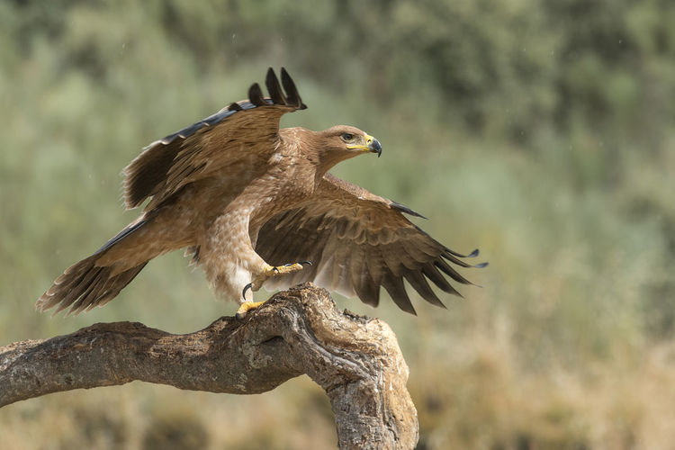 Close-up of eagle landing on branch