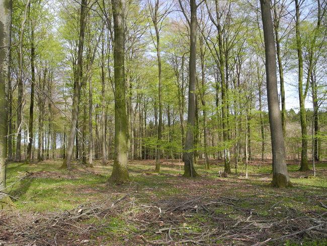 Foliation of Beech Trees in the Danish Spring - Tree Forest Growth Nature Tree Trunk Green Color Outdoors Beauty In Nature Day No People Tranquility Forest Floor Blue Sky Foliation Beech Spring Forår Skov Skove Bøg Bøgetræ Bøgetræer Træ Træer - in The Danish Countryside