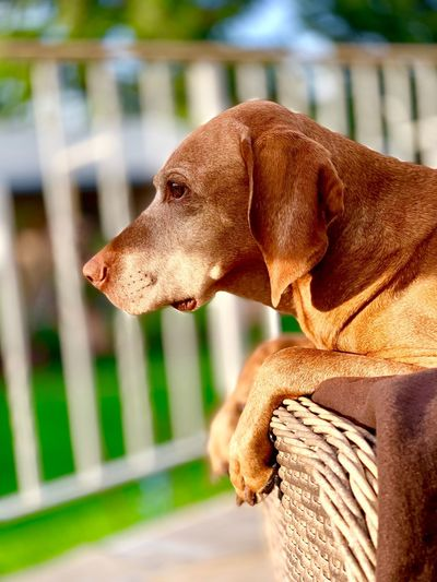 Magyar Vizsla Animal Themes One Animal Focus On Foreground Animal Close-up No People Day Mammal Vertebrate Looking Away Side View Animal Body Part Canine Dog Domestic Animals Pets Outdoors Brown Domestic Looking