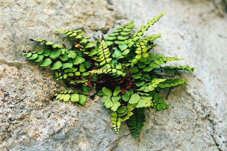 Leaf Close-up Plant Green Color Growing Wall Stone Wall Young Plant Creeper Plant Fern