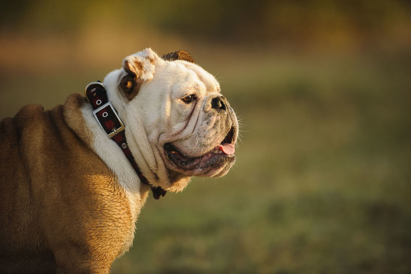 Side view of english bulldog looking away on field