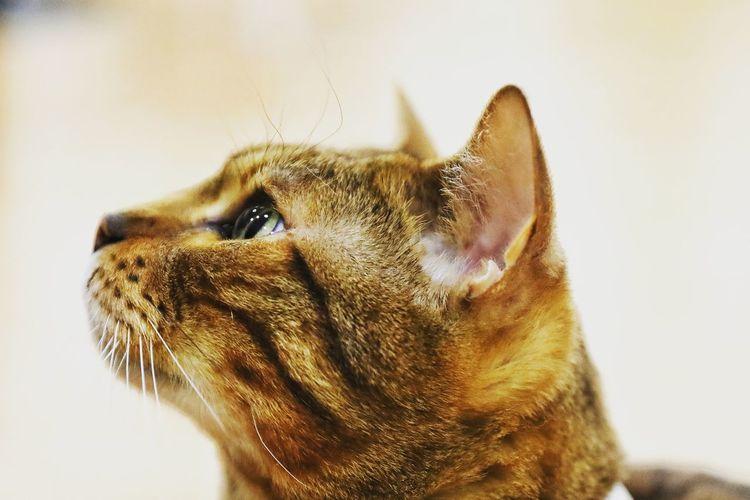 나도 언젠가 집사가 될수 있겠징.. . . #하루한컷 #고양이 #눈망울 #고양이카페 #5DMARK4 #신계륵 #EF2470F28LIIUSM Pets White Background Portrait Close-up Cat