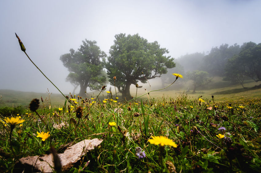 Foggy forest on Madeira Island Beauty In Nature Day Environment Field Flower Flower Head Flowering Plant Foggy Foggy Day Foggy Landscape Forest Fragility Freshness Growth Land Landscape Nature No People Outdoors Plant Sky Tranquility Tree Vulnerability  Yellow