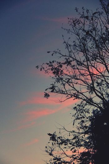 Silhouette of Tree on Evening Blue Sky with Pink Clouds North Thailand South East Asia