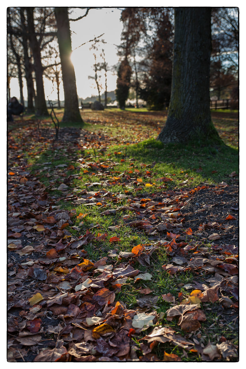 autumn, leaf, nature, change, tree trunk, tree, tranquility, forest, beauty in nature, scenics, outdoors, tranquil scene, day, fallen, no people, growth, landscape