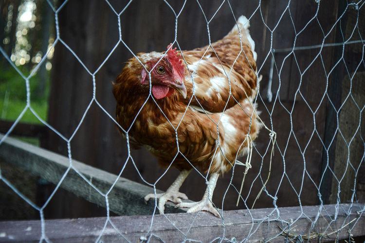 Chicken Seen Through Chainlink Fence